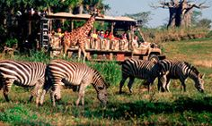 Kilimanjaro Safaris® Expedition  Witness the exotic animals of Africa up close as they traverse the savanna as you ride in a rugged open-sided safari vehicle. No two safaris are the same as giraffes, lions, antelope, rhinos, warthogs, zebras and other stunning species roam the land.