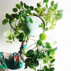 House Plant Club | Grandmother Pilea peperomioides