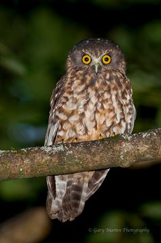 The morepork (Ninox novaeseelandiae), also called the Tasmanian spotted owl, is a small brown owl found throughout New Zealand and Tasmania. New Zealand Tours, New Zealand Art, New Zealand Campervan, New Zealand Mountains, Spotted Owl, Kiwiana, Rare Birds, Family Camping, Wild Birds