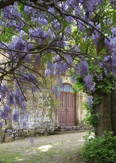 Wisteria - I love it in a garden growing on a gazebo or porch. But in Texas it grows wild everywhere. It's quite amazing to see.