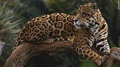 jaguars - Google Search