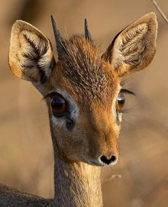 Such a sweet animal, Dik dik is part of the antelope family in Southern Africa – Animal Kingdom Nature Animals, Animals And Pets, Small Animals, Big Eyed Animals, Beautiful Creatures, Animals Beautiful, Majestic Animals, Beautiful Beautiful, Animal Kingdom