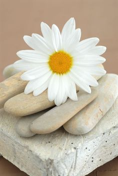 Ebern Designs 'Daisy and Stones' gallery-wrapped canvas is a high-quality canvas print depicting a still life art photograph of a simple daisy flower resting on earth-toned stones. Happy Flowers, Love Flowers, My Flower, Flower Power, Beautiful Flowers, Sunflowers And Daisies, Tulips, Daisy Love, Daisy Daisy