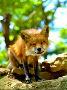 cheesy smiling fox How can you not smile looking at this! Animals And Pets, Baby Animals, Funny Animals, Cute Animals, Beautiful Creatures, Animals Beautiful, Malamute, Fabulous Fox, Fox Art