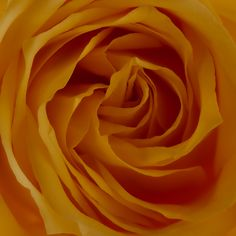 The perfection of the petal folds of a glorious yellow rose