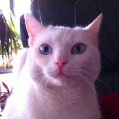 Cute cat Cats, Animals, Gatos, Animales, Animaux, Animal, Cat, Animais, Kitty
