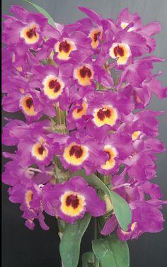 Dendrobium New Century 'Happiness'