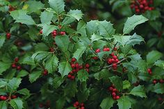 Bring a little holiday cheer to your backyard with a holly bush