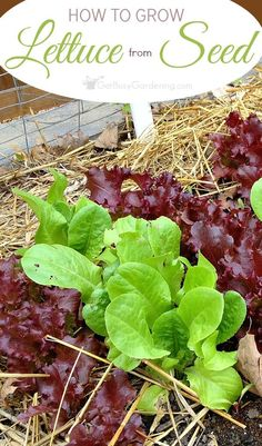 This step-by-step guide for planting lettuce seeds shows you exactly how to grow lettuce from seed. Includes tips for growing and harvesting lettuce too.