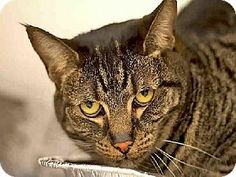 BAILEY...Pittsburgh, PA - Domestic Mediumhair. Meet BAILEY a Cat for Adoption.