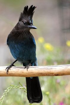 Steller's Jay(                          The Steller's jay(Cyanocitta stelleri) is a native to western North America, closely related to the Blue jay found in the rest of the continent.
