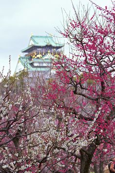 Japanese Apricot trees and Osaka Castle in Japan