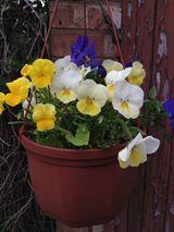 Hanging Basket Entry Number Thirty-two #hangingbasket #garden #gardening #flowers #inspiration #summer