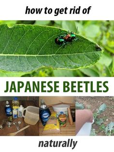 How to get rid of the Japanese beetle naturally, using a few proven techniques: DIY homemade fertilizers recipes), plus a japanese beetle trap. Garden Bugs, Garden Insects, Garden Pests, Killing Japanese Beetles, Homemade Bug Spray, Green Beetle, Home Vegetable Garden, Natural Garden, Pest Control