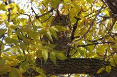 Great Horned Owl ©Steve Frye. Wild Bird Company - Boulder, CO, Saturday Morning Bird Walk in Boulder County - October 31, 2015.