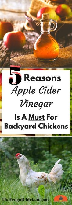 & Apple Cider Vinegar: A Marriage Made In Heaven [Podcast] Are you giving your backyard chickens apple cider vinegar? Here's why you should start today!Are you giving your backyard chickens apple cider vinegar? Here's why you should start today! Raising Backyard Chickens, Keeping Chickens, Pet Chickens, Backyard Farming, Urban Chickens, Backyard Patio, Rabbits, Chicken Feed, Diy Chicken Coop
