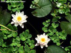 Seerosen  Water lillies