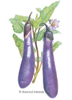 Long Purple Eggplant Seeds - 500 mg - Heirloom by Hirts: Seed; Heirloom 80 Days This long, slender purple variety is both attractive and flavorsome Outstanding when harvested at their tender, succulent peak This packet plants plants 1 gram of seed Eggplant Plant, Eggplant Seeds, Eggplant Purple, House Plants For Sale, Plants For Sale Online, Planting Bulbs, Planting Seeds, House Plant Delivery, Fruit Seeds