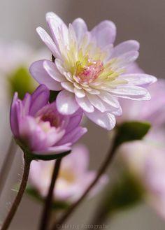 Hepatica japonica 'Yuzuru' by Herzig Fotografie