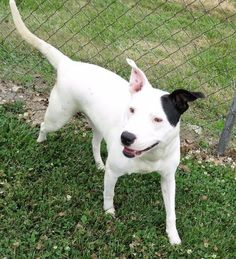 Athena is an adoptable Pit Bull Terrier searching for a forever family near Van Wert, OH. Use Petfinder to find adoptable pets in your area.