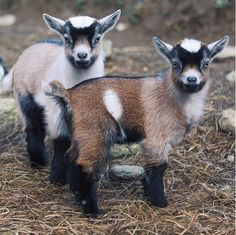 Cute Baby Goats On Instagram #GoatLoversAnonymous   Beautiful Animals On The Farm by Pioneer Settler at http://pioneersettler.com/cute-baby-goats-pygmy-goats/