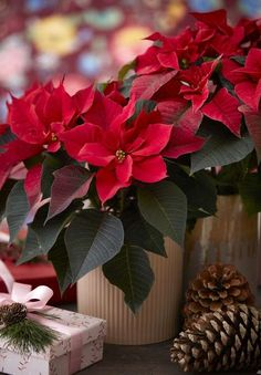 Red poinsettias are a magnificent Christmas gift! Poinsettia Flower, Christmas Poinsettia, Christmas Flowers, Christmas Colors, Christmas Art, Beautiful Christmas, Christmas Decorations, Christmas Flower Arrangements, Christmas Plants