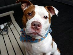 GONE 7-24-2015 --- Manhattan Center REX – A1043816 MALE, WHITE / BROWN, AM PIT BULL TER MIX, 4 yrs OWNER SUR – EVALUATE, NO HOLD Reason LLORDPRIVA Intake condition EXAM REQ Intake Date 07/13/2015