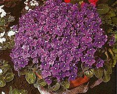 PSaintpaulia ionantha • Usambaraveilchen - Zimmerblumen