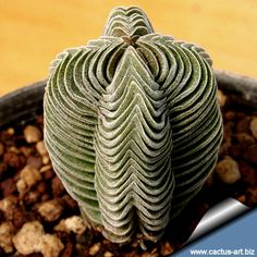 Unusual, somewhat alien-looking cultivar for design junkies - Crassula cv. Buddha's Temple