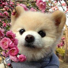 Your Best Friend, Best Friends, Cute Baby Animals, Pomeranian, Cute Babies, Panda, Husky, Pup, Japanese