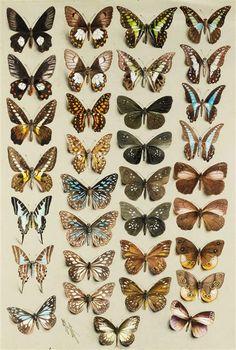A PAIR OF BUTTERFLY STUDIES PAINTED BY MARIAN ELLIS ROWAN (1848 - 1922)