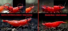 How to differentiate bloody mary shrimp from red fire, red sakura, and red cherry shrimp