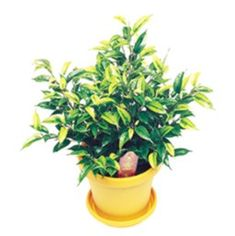 Want to know how to grow ficus? Get tips for caring for this indoor plant, including how to water ficus and more. It's one of the best houseplants! Nightingale, Ficus, Houseplants, Indoor Plants, Bonsai, Gardening, Inside Plants, Indoor House Plants, Bonsai Trees