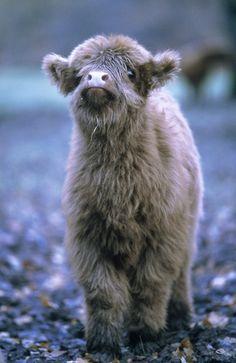 A Highland Calf.