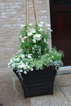 Belgian boxes full of white annuals-white mandevillea, angelonia, Sonata cosmos, petunias, variegated trailing plectranthus, euphorbia Diamond Frost and silver dichondra. They looked great the day we planted. Better days are to come.