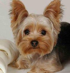 Como cuidar de um Yorkshire Terrier. De entre as raças de cachorros de pequeno porte mais populares, os Yorkshire Terrier ocupam uma posição privilegiada. Originários da Grã-Bretanha, estes cachorros tornaram-se os preferidos no Brasil d...
