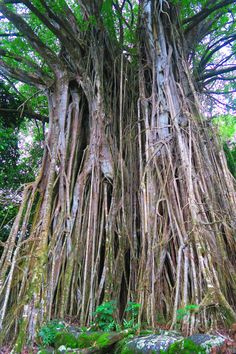 Giant banyan tree in the Kamuihei, Tahakia and Teiipoka archeological sites in Nuku Hiva
