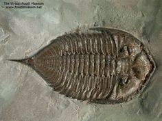 Dalmanites limulurus Family Dalmanitidae Middle Silurian Rochester Shale Formation Middleport, New York