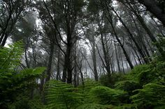 Forest along the Coromandel coast near Cathedral Cove and Hahei, New Zealand. The forests are beautiful there, I was especially struck by the enormous ferns in the undergrowth. New Zealand Image, Gods Creation, Leiden, Ferns, Beautiful Images, Mists, Coast, Country Roads, World