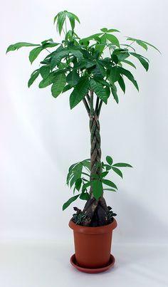 観葉植物-パキラ-8号鉢.