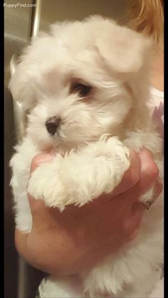 Dog And Puppies Memes Maltese Pictures And Puppies Memes Maltese Pictures Cute Dogs And Puppies, Baby Puppies, Doggies, Shih Tzu Hund, Super Cute Animals, Maltese Dogs, Puppy Pictures, Little Dogs, Dog Grooming