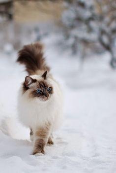 The 5 Most Popular Cat Breeds
