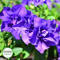 Tumbelina® Belinda - a stunning trailing Petunia with scented, double flowers.  Ideal for hanging baskets!  Plug plants available to purchase at babyplants.co.uk
