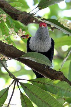 Founingo rougecap - Alectroenas pulcherrimus