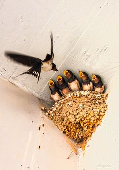 Five hungry barn swallows feed