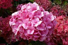 El pH para los colores de la hortensia   eHow en Español