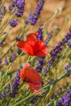 lavender and poppies - Provence, France