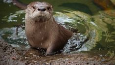 Molalla the Baby River Otter Learns to Swim :: OMG!! @Katie Fletcher please build an otter habitat in your backyard. I need this in my life!! ::