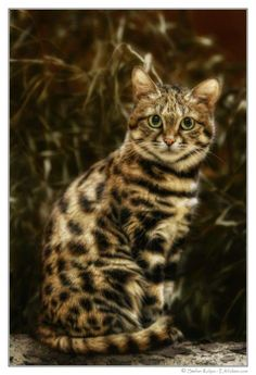 Stunningly Beautiful//this is the cat I want to have someday..