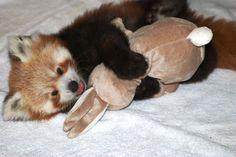 Kodari red panda - Google Search